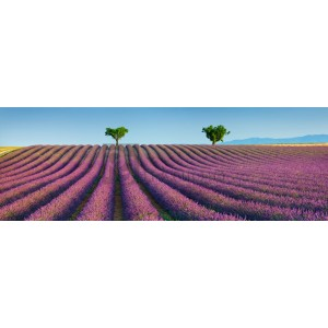 Frank Krahmer - Lavender field, Provence, France