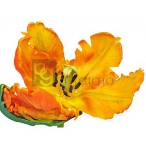Frank Krahmer - Parrot tulip close-up