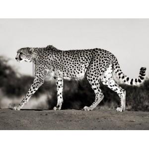 Frank Krahmer - Cheetah, Namibia, Africa