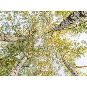 Pangea Images - Birch woods in spring