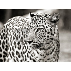 Anonymous - Portrait of leopard, South Africa