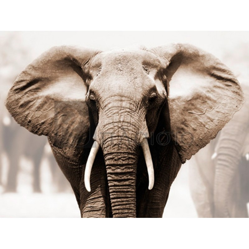 Anonymous - African Elephant
