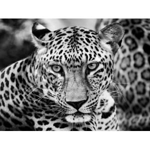 Dimitri Ersler - Young Leopard