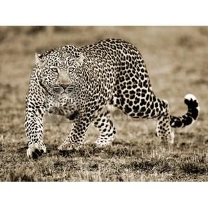 Joe Mcdonald - Leopard