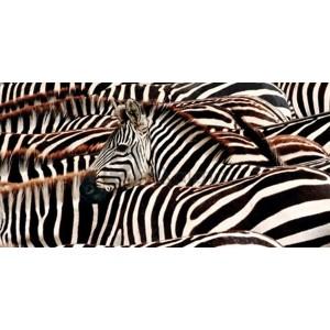 Pangea Images - Herd of zebras