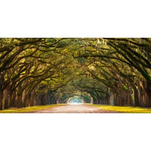 Anonymous - Path lined with oak trees