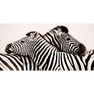 Anonymous - Zebras in love