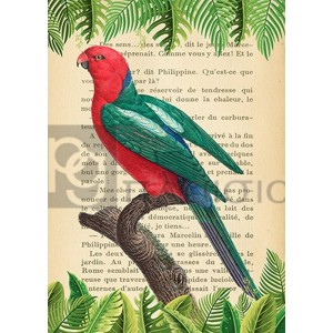 Stef Lamanche - The Australian king parrot, After Levaillant