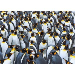 Frank Krahmer - King penguin colony, Antarctica