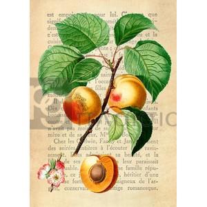 Remy Dellal - Apricot, After Redouté