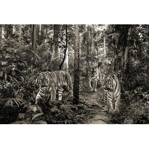 Pangea Images - Bengal Tigers (BW)