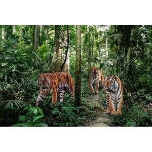 Pangea Images - Bengal Tigers
