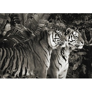 Pangea Images - Two Bengal Tigers (BW)