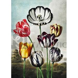 Robert John Thornton - Tulips from The Temple of Flora