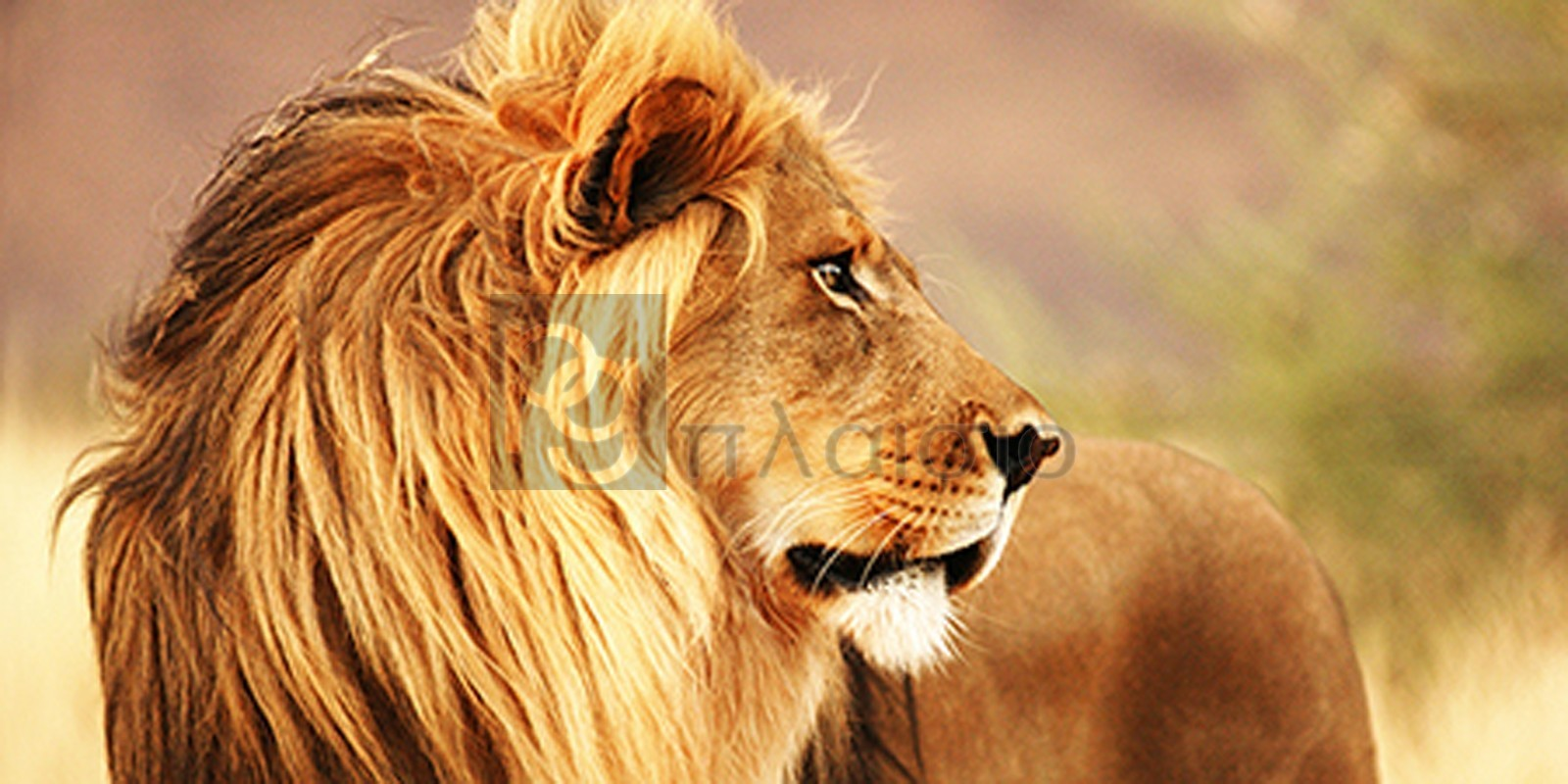 Anonymous - Male lion, Namibia (detail)