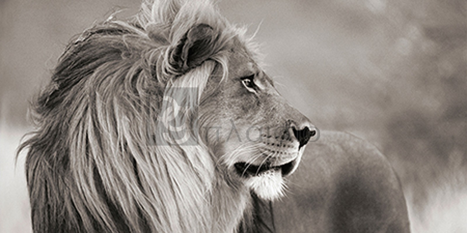 Anonymous - Male lion, Namibia (detail, BW)