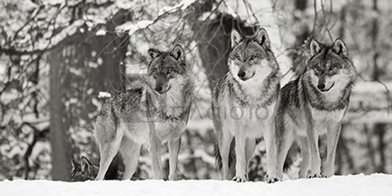 Anonymous - Wolves in the snow, germany (detail, BW)