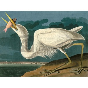 John James Audubon - Great White Heron