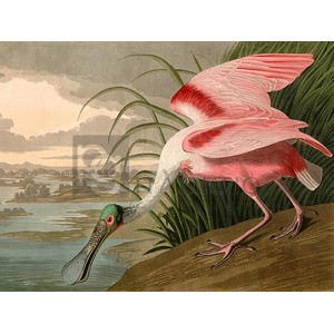 John James Audubon - Roseate Spoonbill