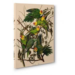 John James Audubon - Carolina Parrot