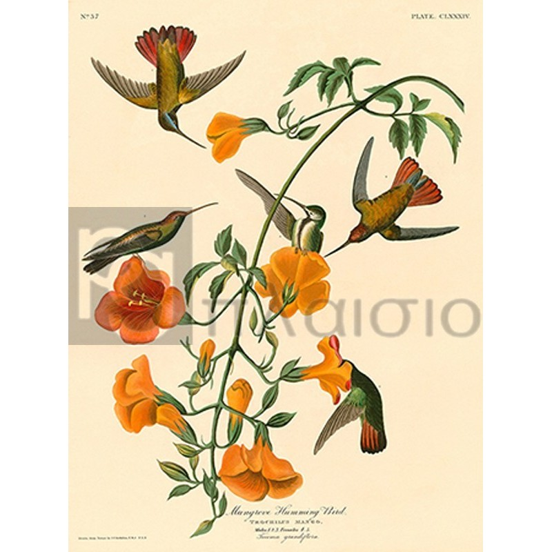 John James Audubon - Mangrove Humming Bird