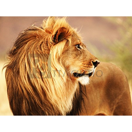 Anonymous - Male lion, Namibia