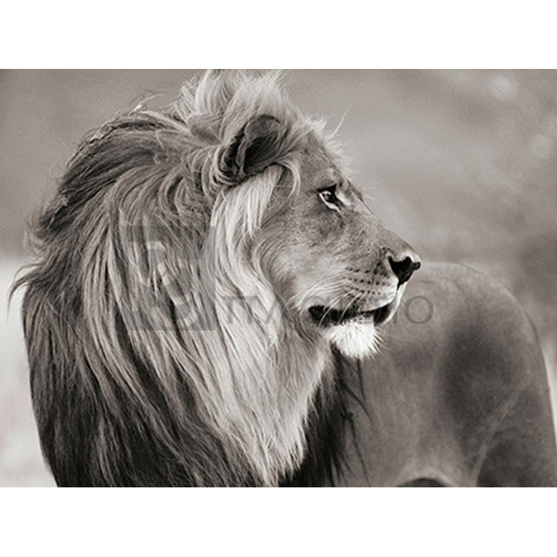 Anonymous - Male lion, Namibia (BW)