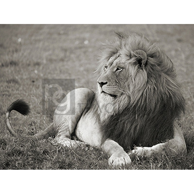 Pangea Images - Male lion, Serengeti National Park