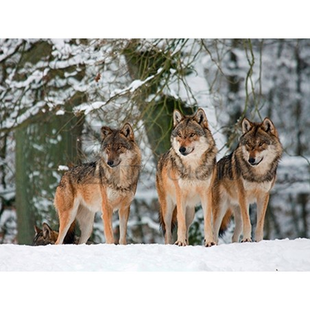 Anonymous - Wolves in the snow, Germany