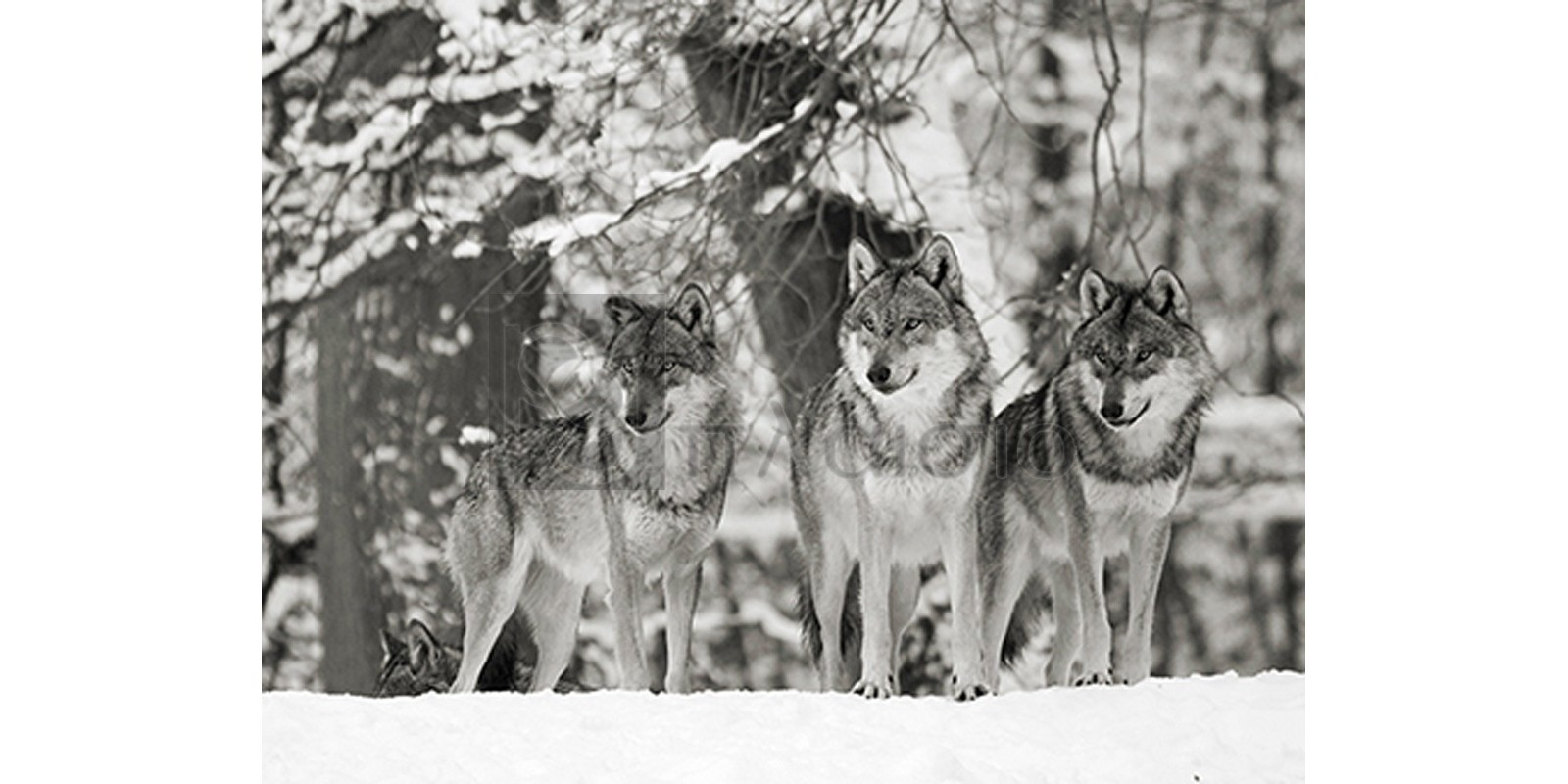 Anonymous - Wolves in the snow, Germany (BW)