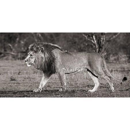 Pangea Images - Lion walking in African Savannah