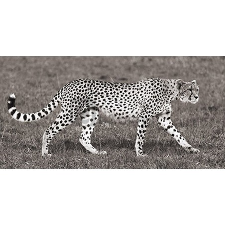 Pangea Images - Cheetah Hunting, Masai Mara