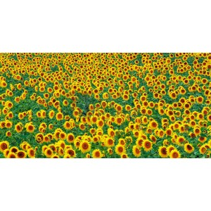 Frank Krahmer - Sunflower field, France