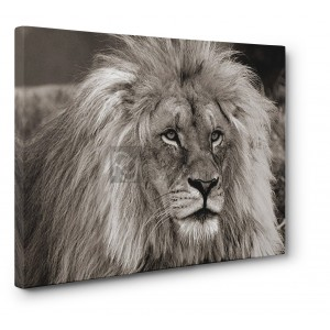 PANGEA IMAGES - King of Africa