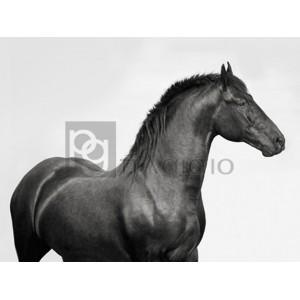 PANGEA IMAGES - King Mamba, Stallion