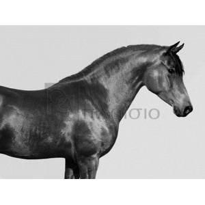 Pangea Images - Orpheus, Arab Horse