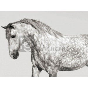 PANGEA IMAGES - Leia, Andalusian Pony