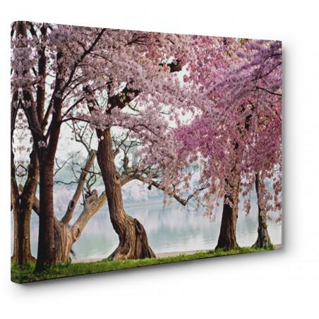 ANONYMOUS - Cherry trees bloom, Washington, USA